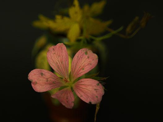 Geranium Still Life