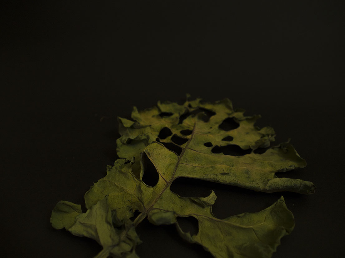 Red Cabbage leaf Still Life